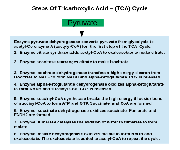 The Steps Of Tricarboxylic Acid Cycle