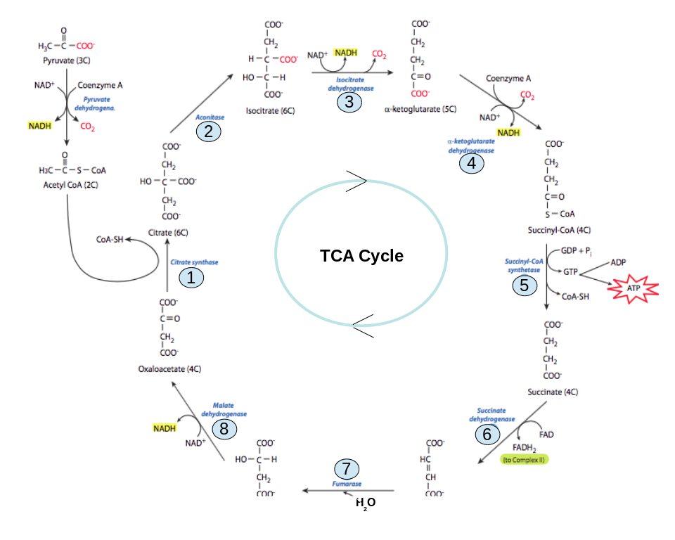 The Tricarboxylic Acid Cycle